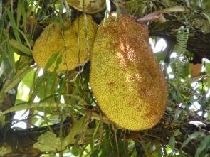 """Picklige Frucht: Die """"Jaca"""""""