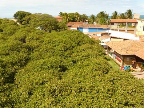 Kleiner Ausschnitt des weltgrößten Cajueiro: 7.500m² nur Baum